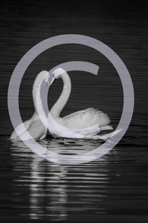 Love Swans 2