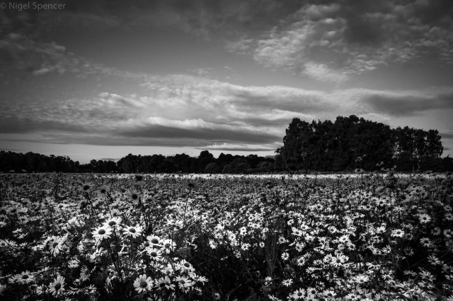 Black and White Daisy field