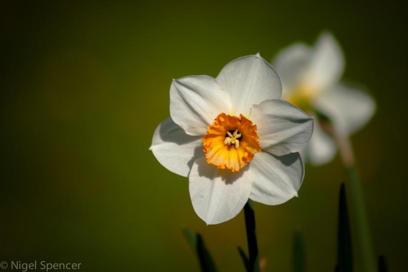 A daffodill