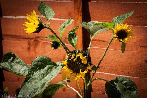 Mulit Head Sunflower
